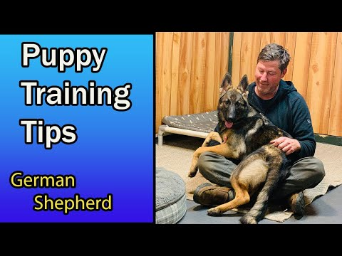 German Shepherd Puppy Training Tips