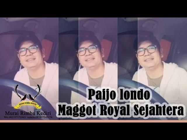 Paijo londo - Maggot Royal Sejahtera