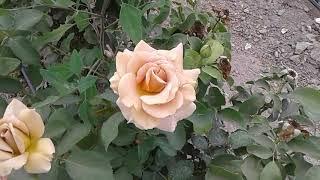 роза хоней дижон этруска питомник роз полины козловой Rozarium.biz