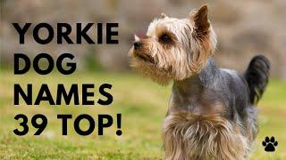 Yorkie Names  39 TOP  CUTE Yorkshire Terrier Names Ideas | Names