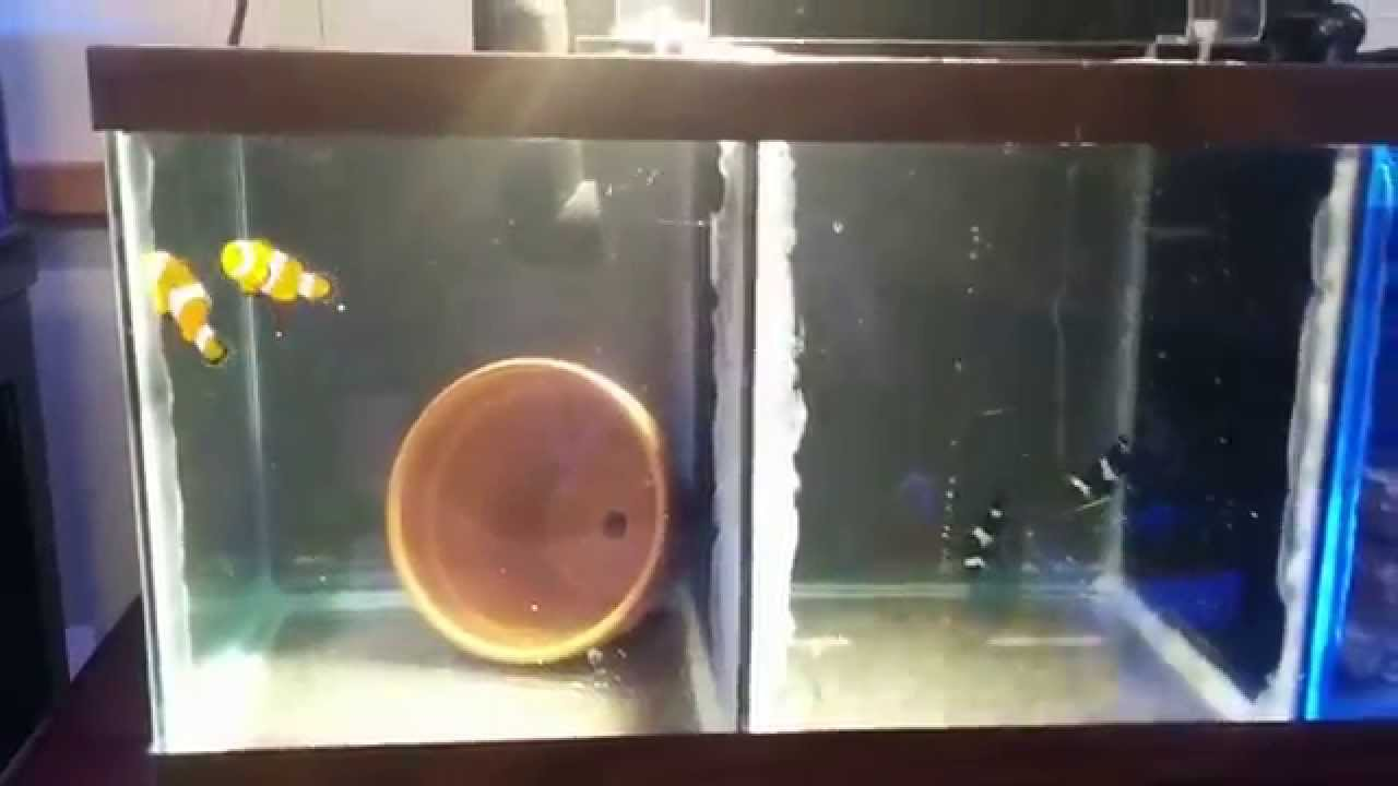 Freshwater aquarium fish breeding - Clownfish Breeding Tank Diy The Fish Whisperer