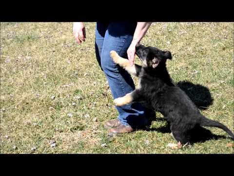 German Shepherd Puppies for Sale - March 2015