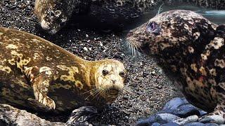 Антур - ласковый и нежный тюлень-цветок - жизнь на Курильских островах   Film Studio Aves