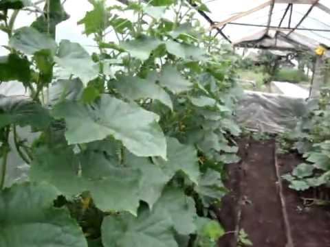 Пасынкование огурцов для увеличения урожайности