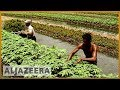 Floating farms in Bangladesh help farmers survive floods