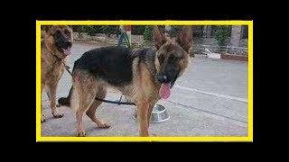 中國是全球唯一一個不用德牧的國家,因為我們有昆明犬! 軍犬是部隊中必...