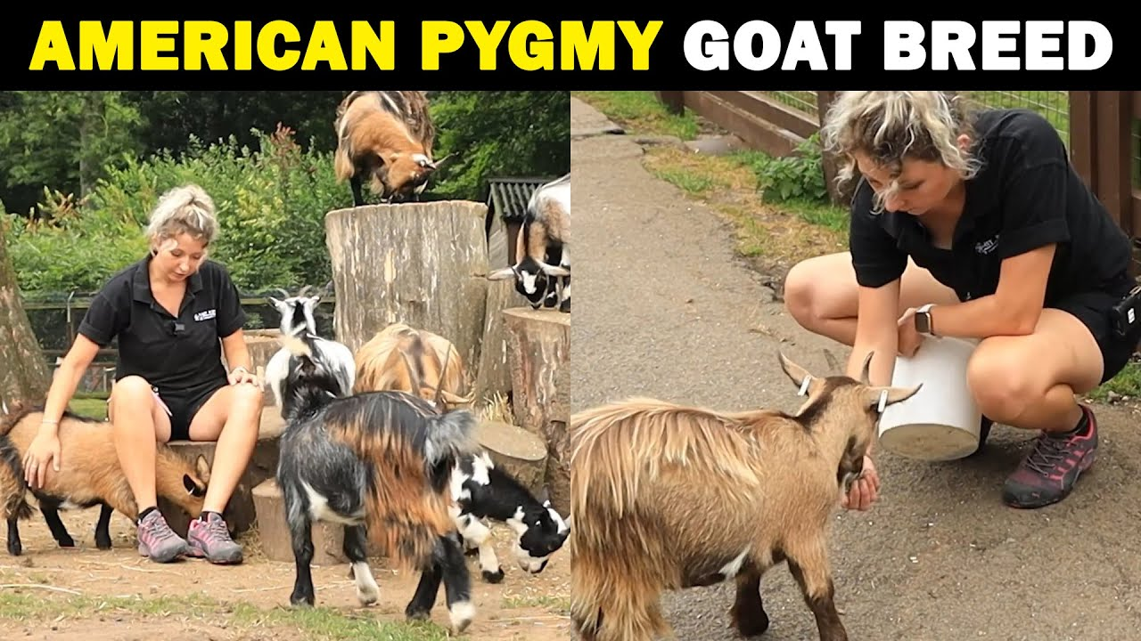 American Pygmy Goat Breed | Pygmy Goat Farming | Smallest Goat Breed in the world..!