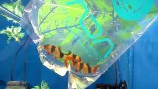 Как правильно пересаживать рыбу в аквариум! (способ 1-й)(Все для аквариума - https://goo.gl/DBLzFl Ребята рекомендую интернет - зоомагазин
