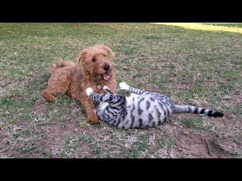 Irish terrier and cat playing