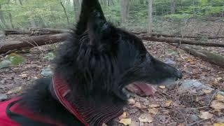 Sober's Run Loop Trail  Jacobsburg State Park  Belgian Sheepdog Groenendael
