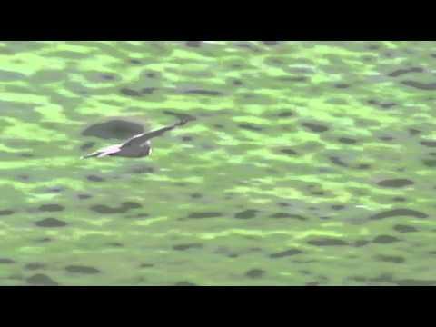 Short Eared Owl - Exminster Marshes