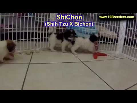 Shichon, Puppies, Dogs, For Sale, In Montgomery, Alabama, Al