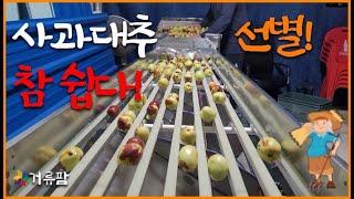 사과대추선별기 대추방울…