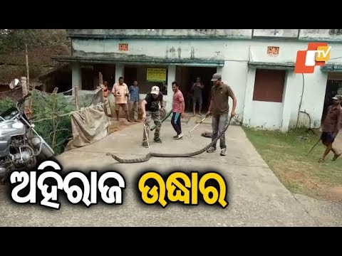 Snake Helpline Officials Rescue A 16-Feet Long King Cobra In Balasore