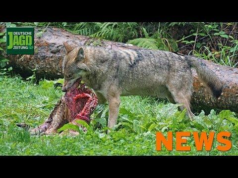 Tödlicher Sauangriff, ASP in Ungarn, Wolf im Westerwald u. w.  – DJZ-News 17/2018