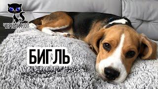 Бигль / Интересные факты о собаках