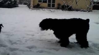 Black Russian Terrier Zhandar Jhamalitsa 12,5m & female riesenschnauzer - 3