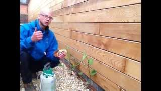 How to treat Japanese Knotweed