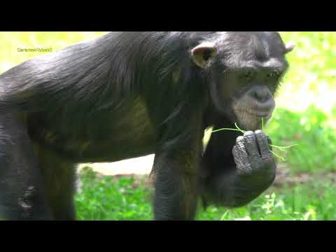 May 2019 Tama zoo chimps #6