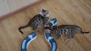 Бенгальские котята )