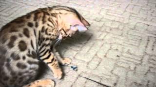 LantanaFly питомник бенгальских кошек - Еleazar
