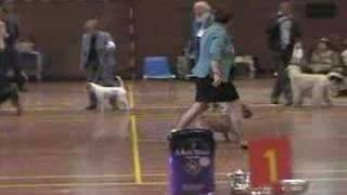 Cairn Terrier Zalazar On Parade Best of Breed