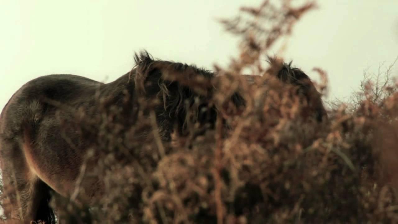 Wild Ponies on Exmoor. Somerset