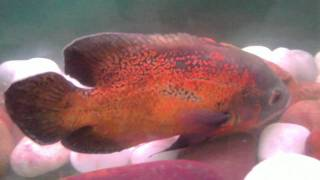 fishes from gireesh.k nl forex ltd tvpm