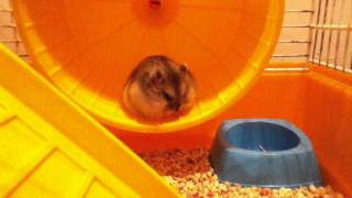Bijou; Sleepy hamster falling of the wheel
