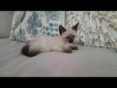 Seal Point Siamese Kitten - Princess