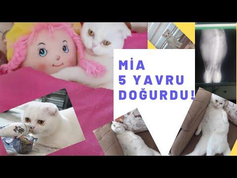 Gebe Scottish Fold Kedinin Doğum Anı