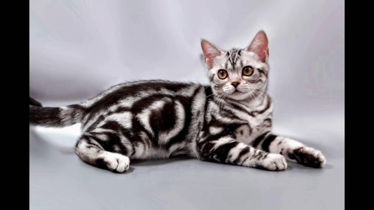 American Shorthair kitten Американская короткошерстная Породы