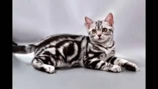 American Shorthair kitten / Американская короткошерстная Породы кошек