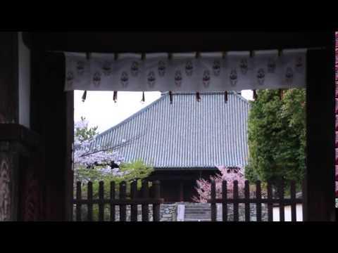 The Last Sakura Petals at Saidaiji Temple 最後のひとひら、西大寺