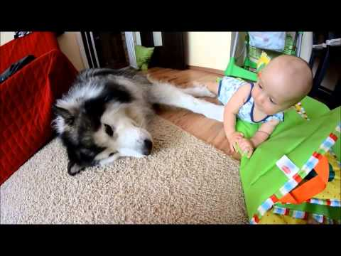 Alaskan Malamute Plays With A Baby