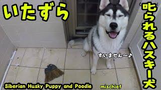 いたずらして怒られるハスキー犬の様子が可愛い Husky Puppy And Poodle
