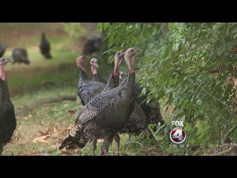 Wild Turkey Terrorists In California
