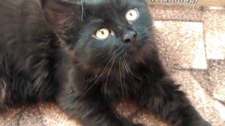 Черные сибирские котята - кошечка из питомника