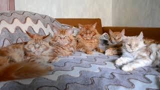 Кот Джокер и его семья. Большие кошки мейн кун.