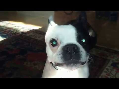 Boston Terrier Dog Tap Dances