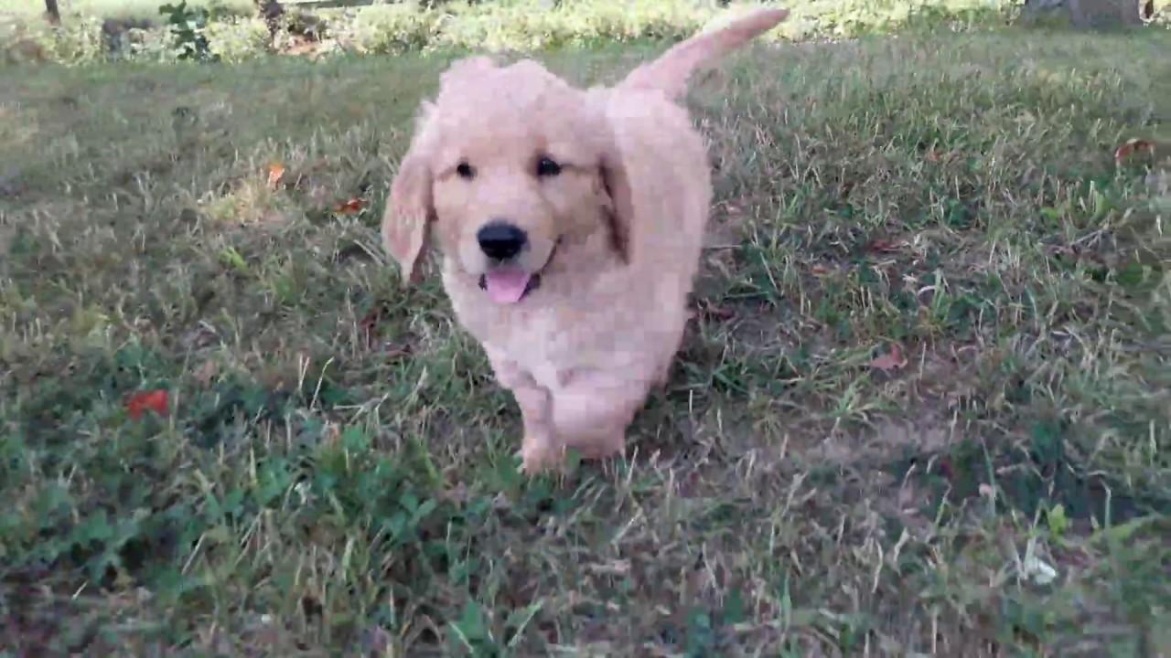 Chase - AKC Golden Retriever Puppy Ohio Breeder
