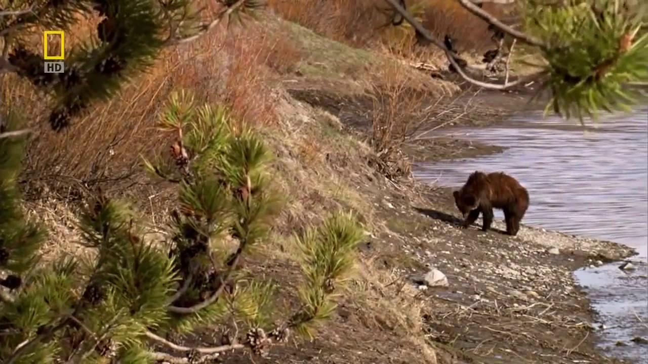 Видео Как Бобры Строят Плотину