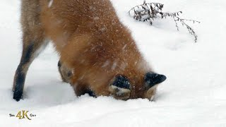Red fox showing snow-dive hunting technique in the wild