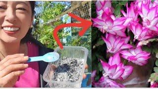 Adubo Explosão de Flores – Flor de Maio Produzindo Muitas Flores Com Esse Adubo Maravilhoso