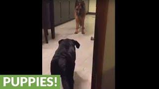 Dog tries to sneak up on German Shepherd in plain sight