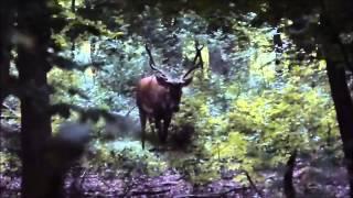 Brame du cerf en forêt domaniale - 2014 - HD