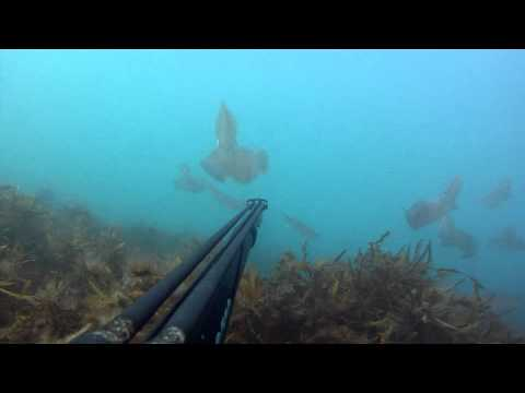 Spearfishing For Squid Off The Boulder Bank, Nelson, New Zealand