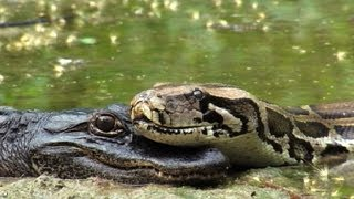 pythons at alligator pond 10 dangerous animals in florida time lapse x2