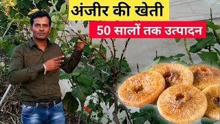 अंजीर की खेती के बारे में जानकारी | अंजीर की खेती कैसे करें | Fig Farming in India