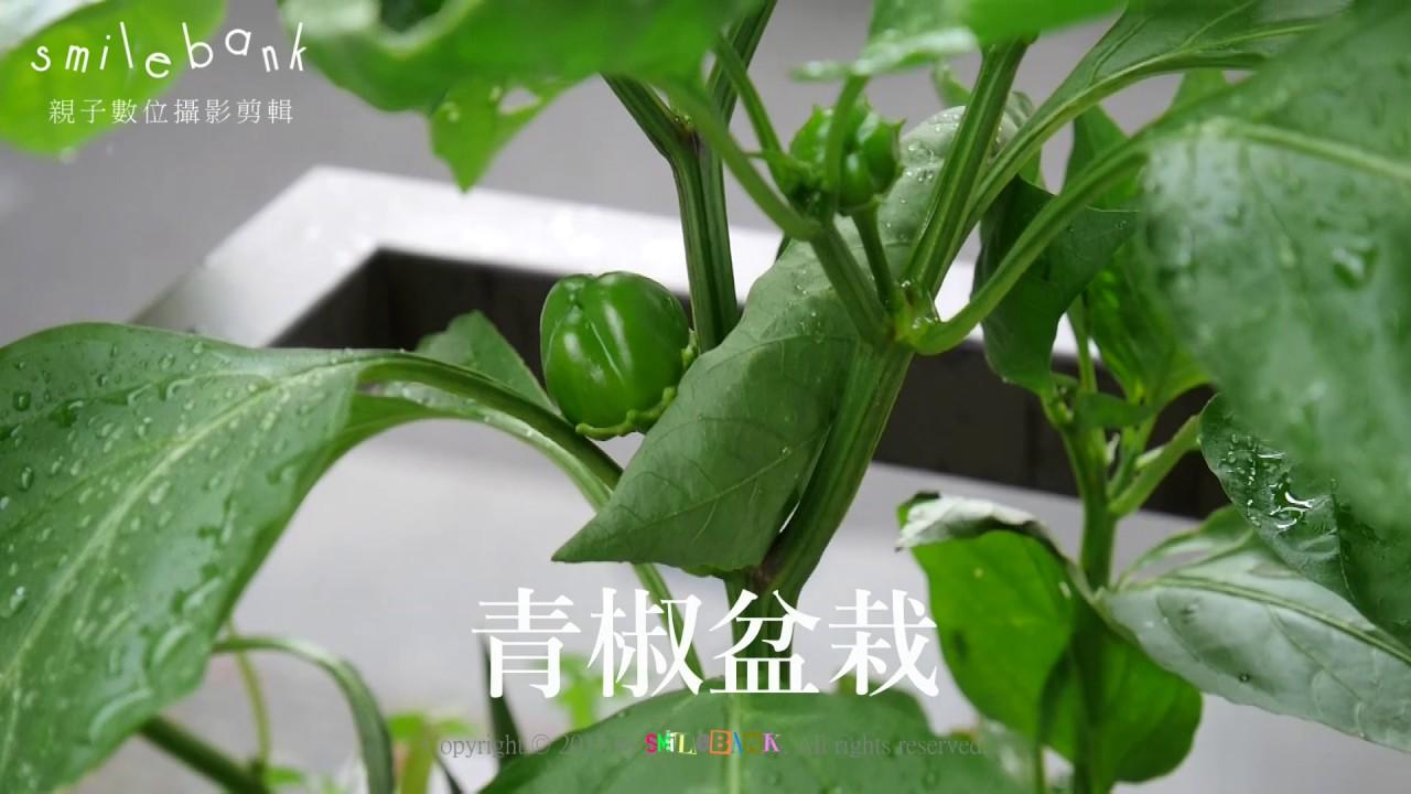 青椒盆栽20170615 - YouTube